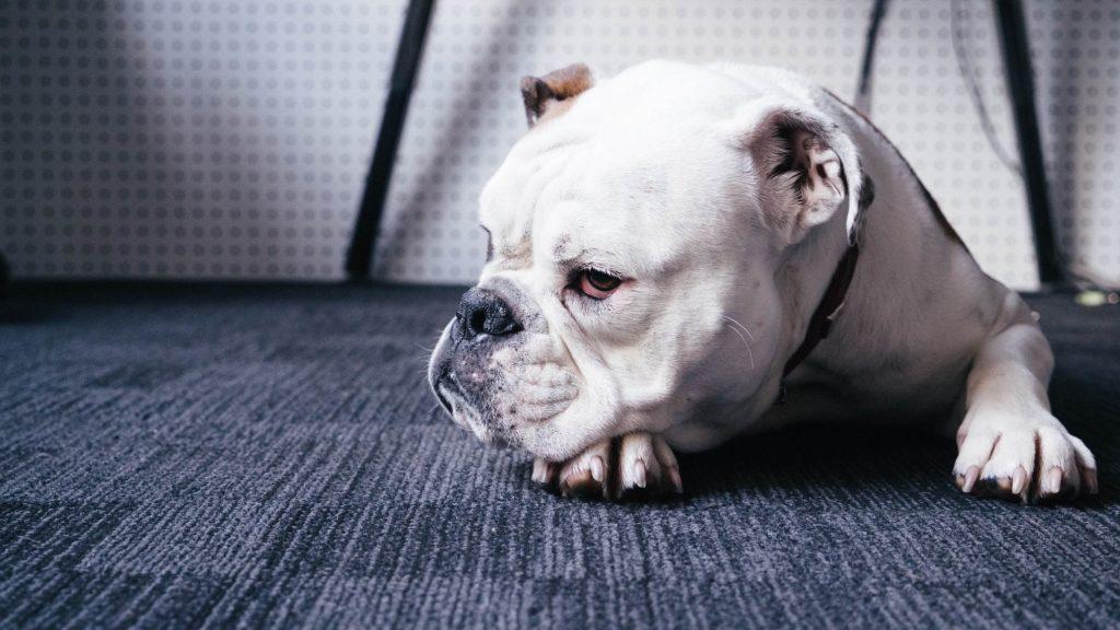 English bulldog as in British watchdog
