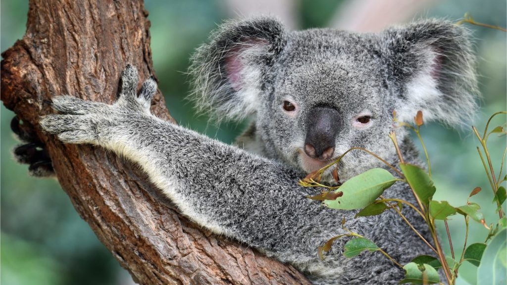 koala-as-in-asx-dlt-delay