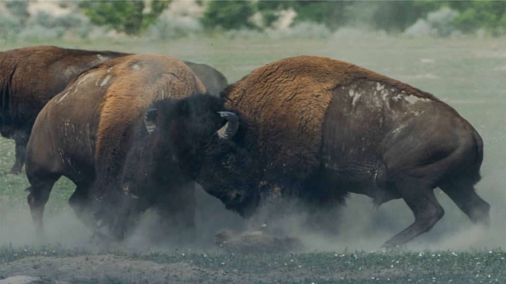 Bulls, fighting. (Photo: Richard Lee / Unsplash)